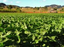 Tabaksplantage Vinales