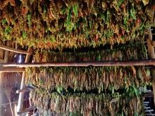 Drogende tabak