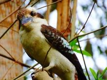 Kookaburra; vleesetende vogel