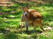 Wallaby @ Cairns