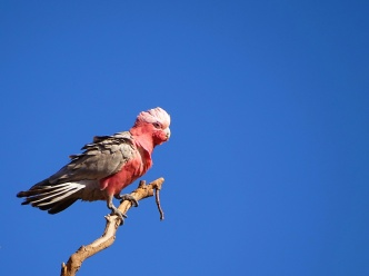Pink & grey Cockatoo